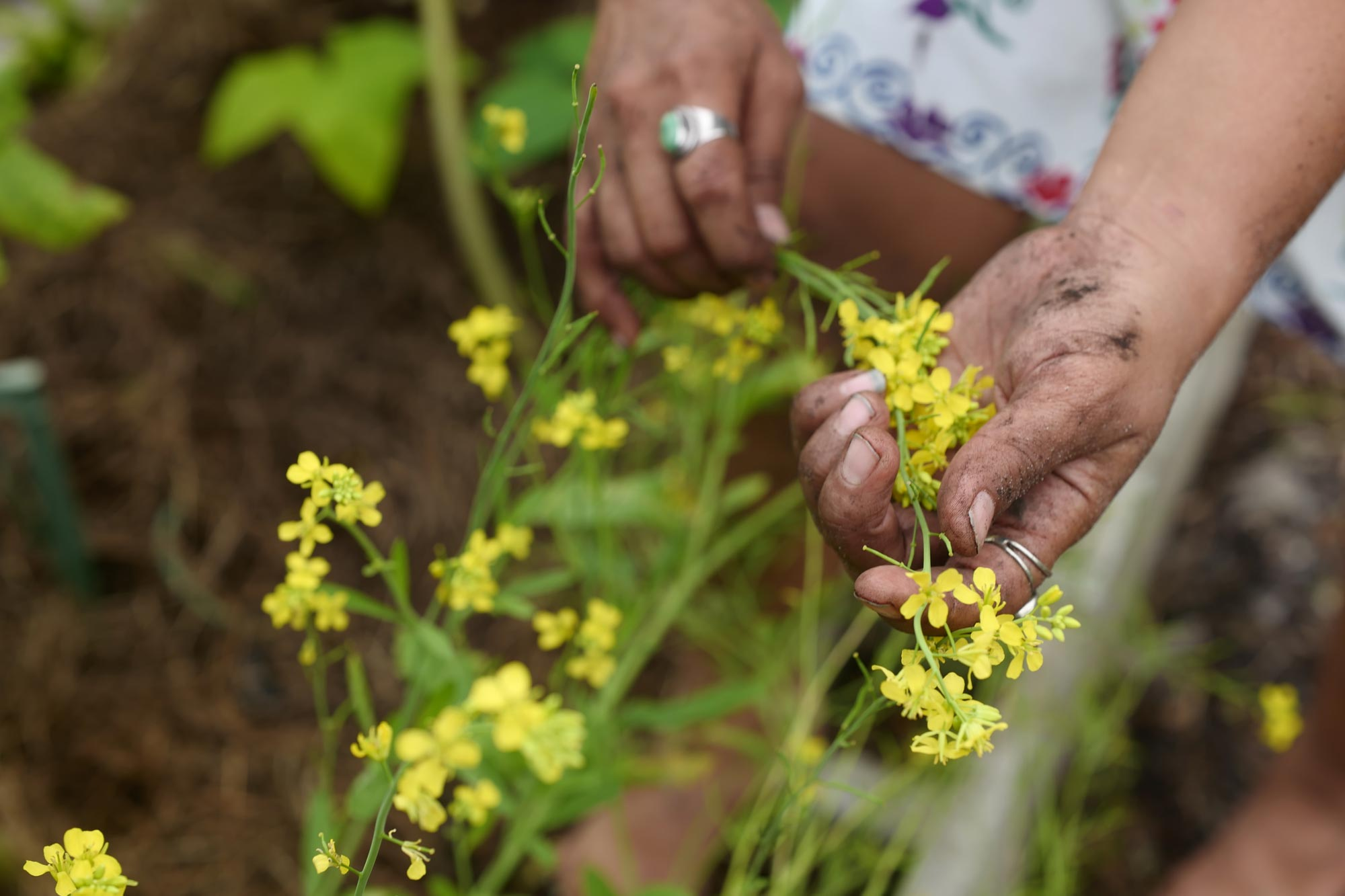 Photo of a gardener's hands holding the stems of a yellow flowering plant